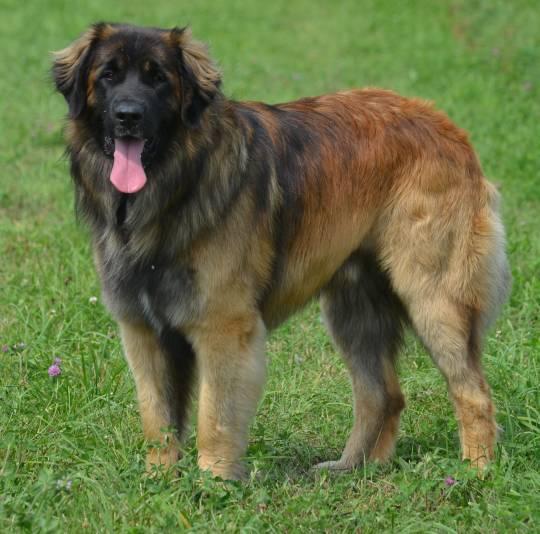 Schubie - Leonberger dog Ontario